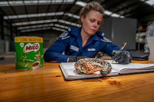 Wildlife Officer ?Abby Smith, from the Department of Land, Water and Planning (DEWLP) with an illegally traded Goldfields Shingleback Lizard (Tiliqua rugosa rugosa) that was discovered in a tin can wh...  -  Doug Gimesy