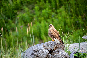 Rough-legged hawk (Buteo lagopus) perched on rock. Vrangel Bay, Primorsky Krai, Russia. August.  -  Franco  Banfi