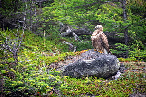 Rough-legged hawk (Buteo lagopus) perched on rock in boreal forest. Vrangel Bay, Primorsky Krai, Russia. August.  -  Franco  Banfi
