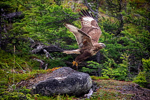 Rough-legged hawk (Buteo lagopus) taking off in forest. Vrangel Bay, Primorsky Krai, Russia. August.  -  Franco  Banfi