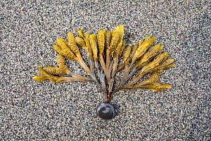 Bladder wrack (Fucus sp) frond on sand at low tide, Vrangel Bay, Primorsky Krai, Russia. August. - Franco  Banfi