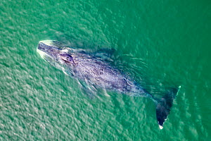 Bowhead whale (Balaena mysticetus) swimming in coastal waters, aerial view. Vrangel Bay, Primorsky Krai, Russia. August 2019. - Franco  Banfi