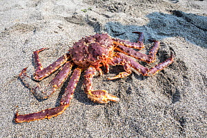 Red king crab (Paralithodes camtschaticus) on sand. Vrangel Bay, Primorsky Krai, Russia. August.  -  Franco  Banfi