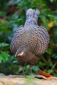 Grey peacock-pheasant (Polyplectron bicalcaratum) Tongbiguan Nature Reserve, Dehong, Yunnan, China. Commended in Bird Photographer of the Year competition 2020.  -  Staffan Widstrand / Wild Wonders of China