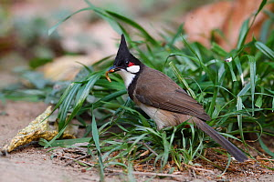 Red-whiskered bulbul (Pycnonotus jocosus) Tongbiguan Nature Reserve, Dehong, Yunnan, China  -  Staffan Widstrand / Wild Wonders of China