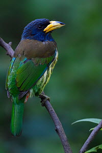 Great barbet (Psilopogon virens) Gaoligongshan, Yunnan, China  -  Staffan Widstrand / Wild Wonders of China