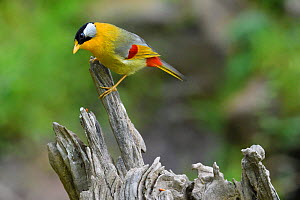Silver-eared mesia (Leiothrix argentauris) Gaoligongshan, Yunnan, China  -  Staffan Widstrand / Wild Wonders of China