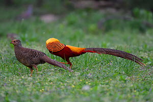 Golden pheasant (Chrysolophus pictus) male and female, Yangxian nature reserve, Shaanxi, China - Staffan Widstrand / Wild Wonders of China