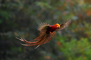 Golden pheasant (Chrysolophus pictus) male in flight, Yangxian nature reserve, Shaanxi, China - Staffan Widstrand / Wild Wonders of China