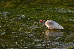 Crested ibis (Nipponia nippon) in water, Yangxian nature reserve, Shaanxi, China  -  Staffan Widstrand / Wild Wonders of China