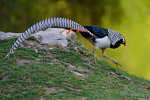 Lady Amherst's pheasant (Chrysolophus amherstiae) Kanding, Sichuan, China - Staffan Widstrand / Wild Wonders of China