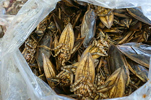 Giant water bugs (Lethocerus indicus) in plastic bag, at market. Bangkok, Thailand. - Nigel Cattlin