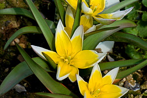 Tarda tulip (Tulipa tarda) flowers cultivated in garden.  -  Nigel Cattlin