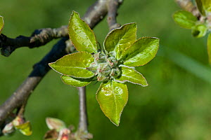 Apple (Malus domestica) flower buds and fresh green leaves following bud burst, Berkshire, England, UK. April.  -  Nigel Cattlin