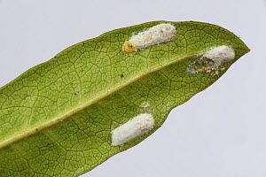 Cushion scale insect (Pulvinaria floccifera) laying eggs on underside of cultivated Rhododendron (Rhododendron sp) leaf. In garden, Berkshire, England, UK. June.  -  Nigel Cattlin