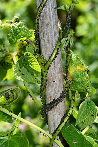 Black bean aphid (Aphis fabae) infestation on Runner bean (Phaseolus coccineus), stem twining up bamboo cane. Berkshire, England, UK. June.  -  Nigel Cattlin