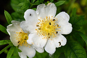 Field rose (Rosa arvensis) with Pollen beetles (Brassicogethes aeneus) on petals and anthers. Berkshire, England, UK. June.  -  Nigel Cattlin