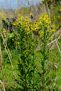 Common wintercress (Barbarea vulgaris). Berkshire, England, UK. May. - Nigel Cattlin