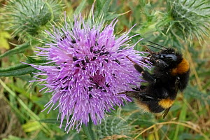 Buff-tailed bumblebee (Bombus terrestris) nectaring on Spear thistle (Cirsium vulgare), thistle with Pollen beetle (Brassicogethes aeneus) infestation. Berkshire, England, UK. July.  -  Nigel Cattlin