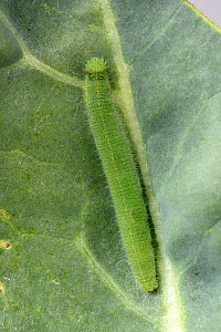 Single small white (Pieris rapae) caterpillar on Broccoli (Brassica oleracea) leaf. Berkshire, England, UK. August.  -  Nigel Cattlin