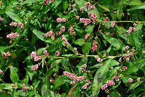 Redshank (Persicaria maculosa), an annual arable weed. Berkshire, England, UK. August.  -  Nigel Cattlin