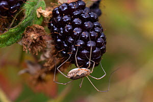 Harvestman (Phalangium opilio) female on cultivated Blackberry (Rubus sp) fruit, this predator serves as a biological control species. Berkshire, England, UK. August.  -  Nigel Cattlin