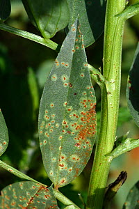 Broad bean rust (Uromyces vicia-fabae) on Broad bean (Vicia faba) leaf, notches made by Bean weevil (Chrysomelidae) around edge. Berkshire, England, UK. August.  -  Nigel Cattlin
