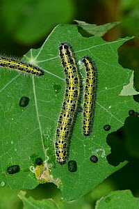 Large white butterfly (Pieris brassicae) caterpillars and frass on damaged Nasturtium (Tropaeolum majus) leaf. Berkshire, England, UK. August.  -  Nigel Cattlin