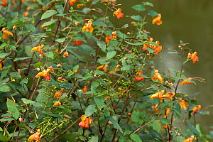 Orange balsam (Impatiens capensis) flowering and seeding at edge of Kennet and Avon Canal, Berkshire, England, UK. August.  -  Nigel Cattlin
