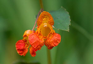 Orange balsam (Impatiens capensis). Kennet and Avon Canal, Berkshire, England, UK. August.  -  Nigel Cattlin