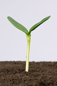 Sunflower (Helianthus annuus) seedling with cotyledons expanding following germination.  -  Nigel Cattlin