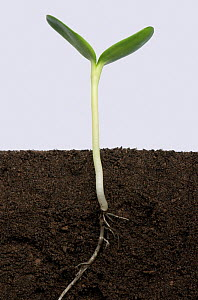 Sunflower (Helianthus annuus) seedling with cotyledons expanding, above and below ground. Sequence 5/5.  -  Nigel Cattlin