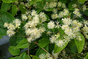 Traveller's joy (Clematis vitalba) flowering in hedgerow, Berkshire, England, UK. August.  -  Nigel Cattlin