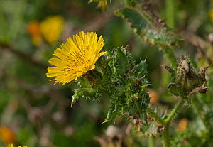 Bristly oxtongue (Helminthotheca echioides). Chesil Beach, Dorset, England, UK. October. - Nigel Cattlin