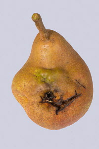 Doyenne du Comice pear (Pyrus communis) fruit with deformity caused by Pear stony pit virus. Berkshire, England, UK. - Nigel Cattlin