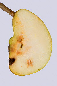 Doyenne du Comice pear (Pyrus communis) fruit with deformity and internal hard growth caused by Pear stony pit virus, cross section. Berkshire, England, UK. October. - Nigel Cattlin