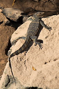 Asian water monitor (Varanus salvator) basking on rock, on bank of River Kwai, Kanchanaburi, Thailand.  -  Nigel Cattlin