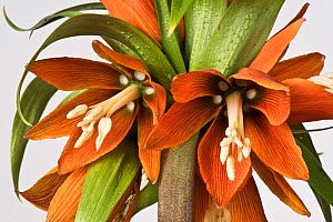 Crown imperial (Fritillaria imperialis) flower head, close up.  -  Nigel Cattlin