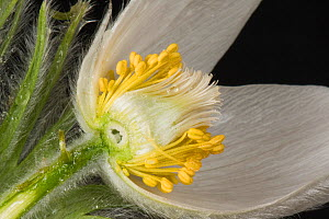 White pasqueflower (Pulsatilla vulgaris 'Alba') cross section, close up of stamens and stigma, cultivated in garden. Berkshire, England, UK. April.  -  Nigel Cattlin