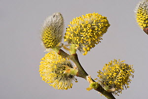 Goat willow (Salix caprea) male catkins. Kennett and Avon Canal, Berkshire, England, UK. April.  -  Nigel Cattlin