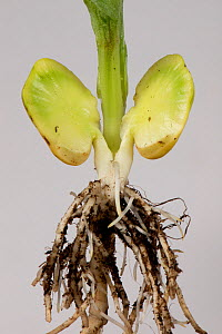 Broad bean (Vicia faba), close up of roots and cross section of germinated seed to show food reserve.  -  Nigel Cattlin