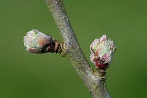 Apple (Malus domestica) buds swelling prior to leaves and flowers emerging in spring. Berkshire, England, UK. April.  -  Nigel Cattlin