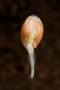 Winter wheat (Triticum aestivum) seed germinating with radicle, root hairs and coleoptile growth.  -  Nigel Cattlin