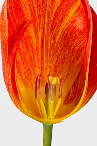 Tulip (Tulipa sp) flower with orange petals, cross section showing mature anthers and style. Berkshire, England, UK. April. - Nigel Cattlin