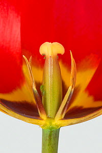 Tulip (Tulipa sp) flower cross section with immature anthers and style, close up. Berkshire, England, UK. April.  -  Nigel Cattlin