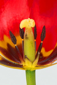 Tulip (Tulipa sp) flower cross section with mature anthers and style, close up. Berkshire, England, UK. April.  -  Nigel Cattlin
