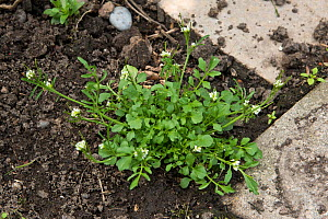 Hairy bittercress (Cardamine hirsuta) growing as garden weed. Berkshire, England, UK. May.  -  Nigel Cattlin