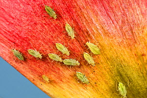 Potato aphid (Macrosiphum euphorbiae) infestation on Tulip (Tulipa sp) petal. Berkshire, England, UK. May.  -  Nigel Cattlin