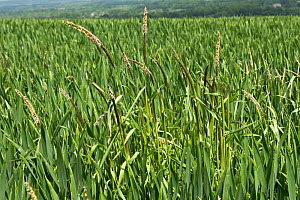 Black grass (Alopecurus myosuroides) growing as agricultural weed amongst Winter wheat (Triticum aestivum) crop. Berkshire, England, UK. May. - Nigel Cattlin