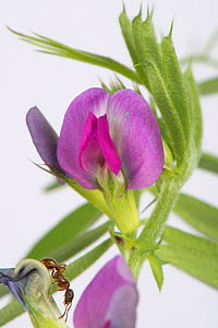 Common vetch (Vicia sativa) with Red ant (Myrmica rubra) on bud. Berkshire, England, UK. June. - Nigel Cattlin